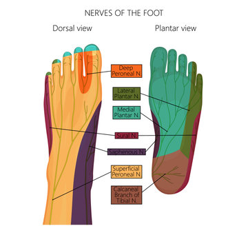 Vector illustration (diagram) of the nerves and cutaneous innervation of the human foot (with palmar and dorsal view).