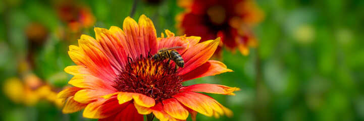 Bee collects nectar on a flower in the park.  Banner for design.