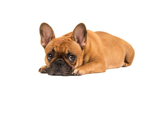 Cute french bulldog lying with head on the floor looking at the camera isolated on a white background