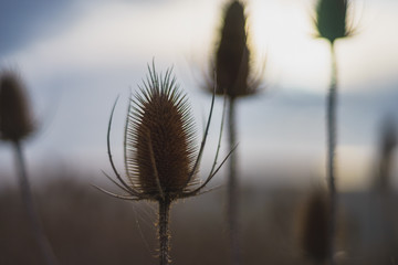 Thistle on a Field