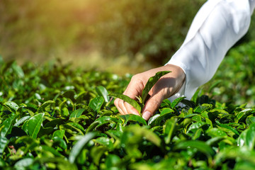 Wall Mural - Woman picking tea leaves by hand in green tea farm.