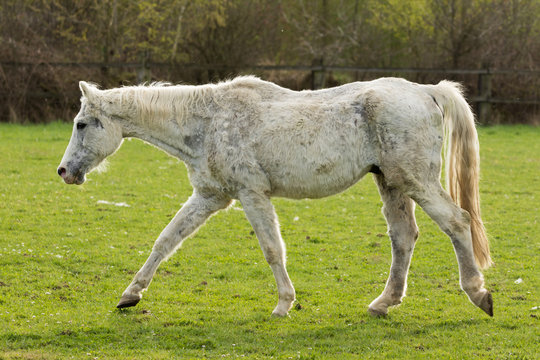 Sehr altes Pferd