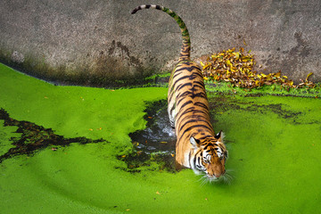 Asian tiger is resting in the water.