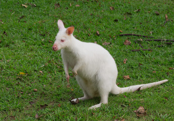 White Bennett's Wallaby (Macropus rufogriseus) is resting on the grass.