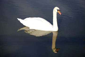Beautiful white swan with water reflection