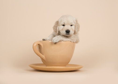Cute golden retriever puppy sitting in a cup and saucer on a sand colored background