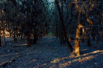 Low winter sun lights up the gap between blackened fir trees
