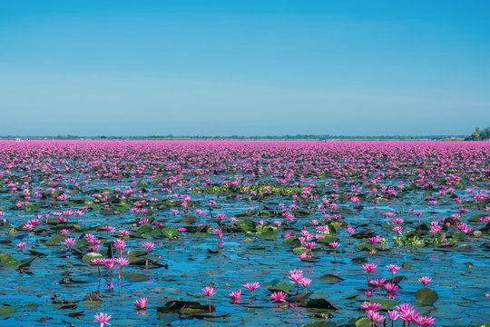 Wonderful and amazing blooming waterlily at the lake, Flowers landscape with waterlily blooming, Located at sea of red waterlily, Nong Harn Kumpawapee, Udonthani, Thailand