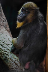A beautiful madril baboon with bright yellow hair and blue nose on a dark background.