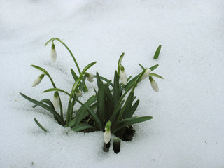 Snowdrops First Early Spring Flowers (Galanthus nivalis)