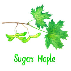 Sugar maple branch with green leaves and seeds, hand painted watercolor illustration with inscription isolated on white