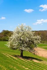 Frühling, Obstbaum, Apfelblüte