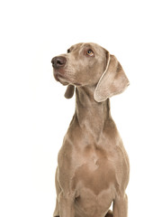 Portrait of a weimaraner dog seen from the side looking up isolated on a white background