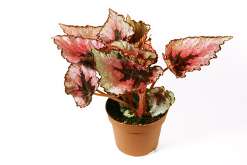 Begonia plant in flowerpot on white background.