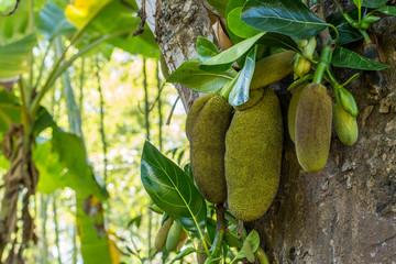 Plenty of tropical green jackfruits on the tree in the garden