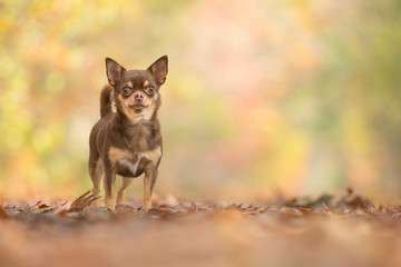 Pretty standing chocolate chihuahua dog seen from the front in a autum forest