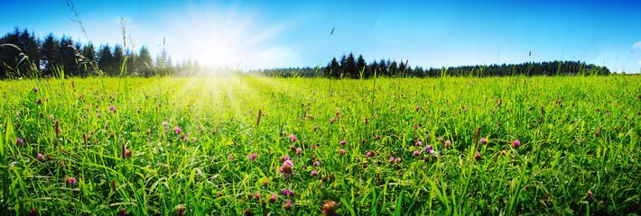 Clover flowers field in sunset.