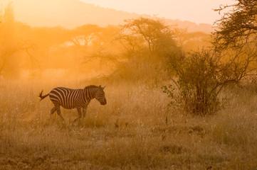 Aluminium Prints Zebra Zebra running in the fields at sunset - Serengeti, Tanzania.