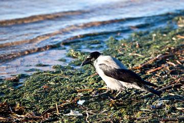 Hooded crow on the beach