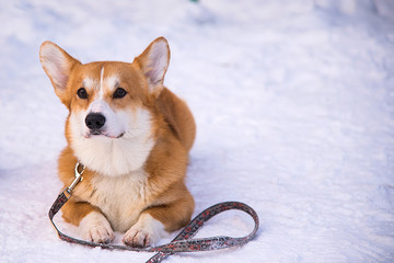 cute Welsh Corgi lies on the snow in winter