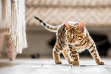 A Bengal kitten standing in a living room ready to pounce at something under a frilled sofa Fototapete