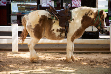 Dwarf horse standing relax in stable at animal farm in Saraburi, Thailand
