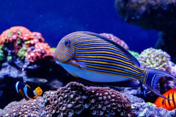 Fish Striped Surgeon Acanthurus lineatus