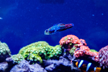 Mandarin fish Synchiropus splendidus