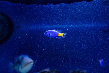 Yellow-tailed Chrysiptera fish Chrysiptera parasema
