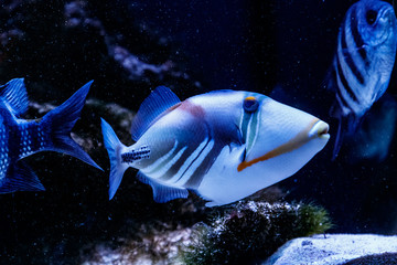 Fish Painted Triggerfish Rhinecanthus aculeatus