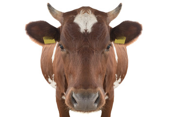 portrait cow isolated