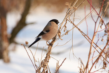 Eurasian bullfinch sits on a bundle of dry grass in a clearing in a forest park in early spring.