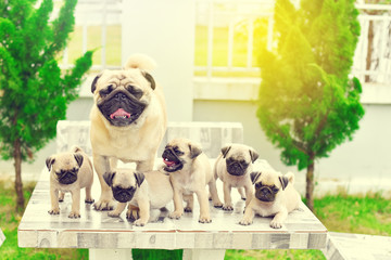 Cute puppies brown Pug with their mother on marble table