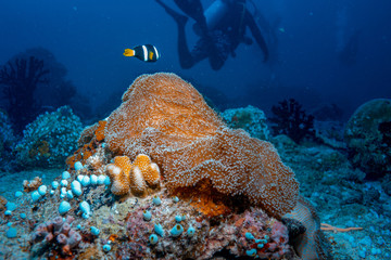 Underwater background in tropical sea with black anemone fish and divers