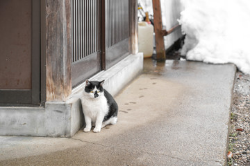 adorable homeless Japanese fat black and white cat white with yellow eye, sit beside wooden door and background snow behind.