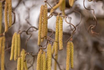 Corylus avellana. Hazelnut shrub in spring