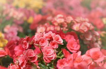red pink begonia garden