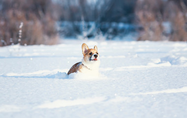 small the red-haired puppy of the corgi is playing fun in the white snowdrifts with its tongue stuck out in the winter park on a sunny day