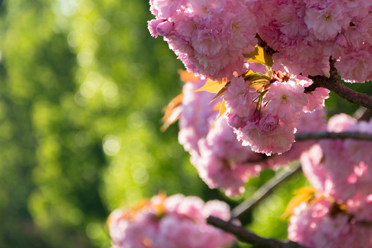 beautiful sakura blossom in springtime. pink buds on the blurred green background. lovely nature scenery.