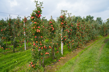dutch apple orchard