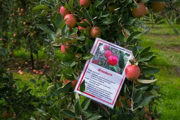 ripe braeburn apples