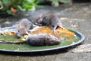 Dirty rats in glue stick on the mousetrap.Rats captured on  non-toxic glue trap.House problem from rats