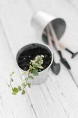 Plectranthus in zinc flowerpot and small garden tools.