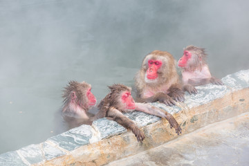 spa Japanese snow monkey onsen (macaques) in winter