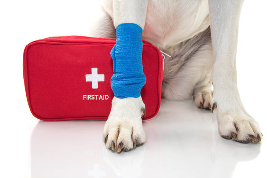 INJURED DOG. CLOSE UP PAW LABRADOR   WITH A BLUE BANDAGE OR ELASTIC BAND ON FOOT AND A EMERGENCY  OR FIRT AID KIT.