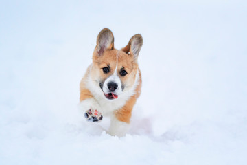 Portrait of a small funny red-haired puppy Corgi walking in deep white snowdrifts in the winter high raising little paws and sticking out his tongue