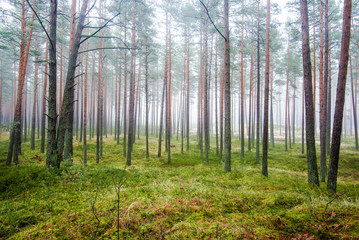 The forest landscape. Morning fog through the pine trees on a cloudy winter day. Latvia