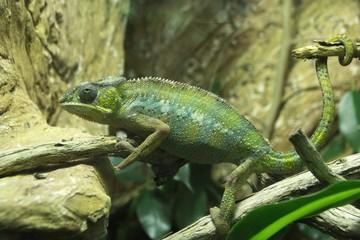 Printed roller blinds Chameleon Green lizard chameleon sitting in trees and stones.