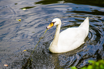 White swan swims in the lake at the zoo on a clear summer day