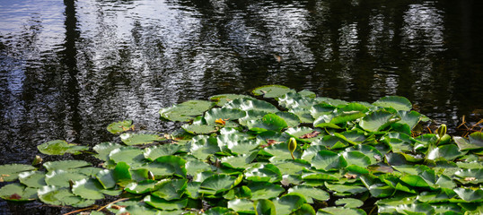 Stores photo Nénuphars Aquatic garden with fresh water lilies or lotus on pond. Nature background, copyspace, banner, wallpaper.